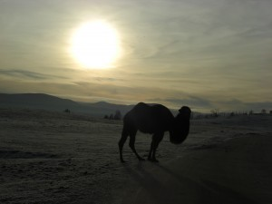 Sun set camel